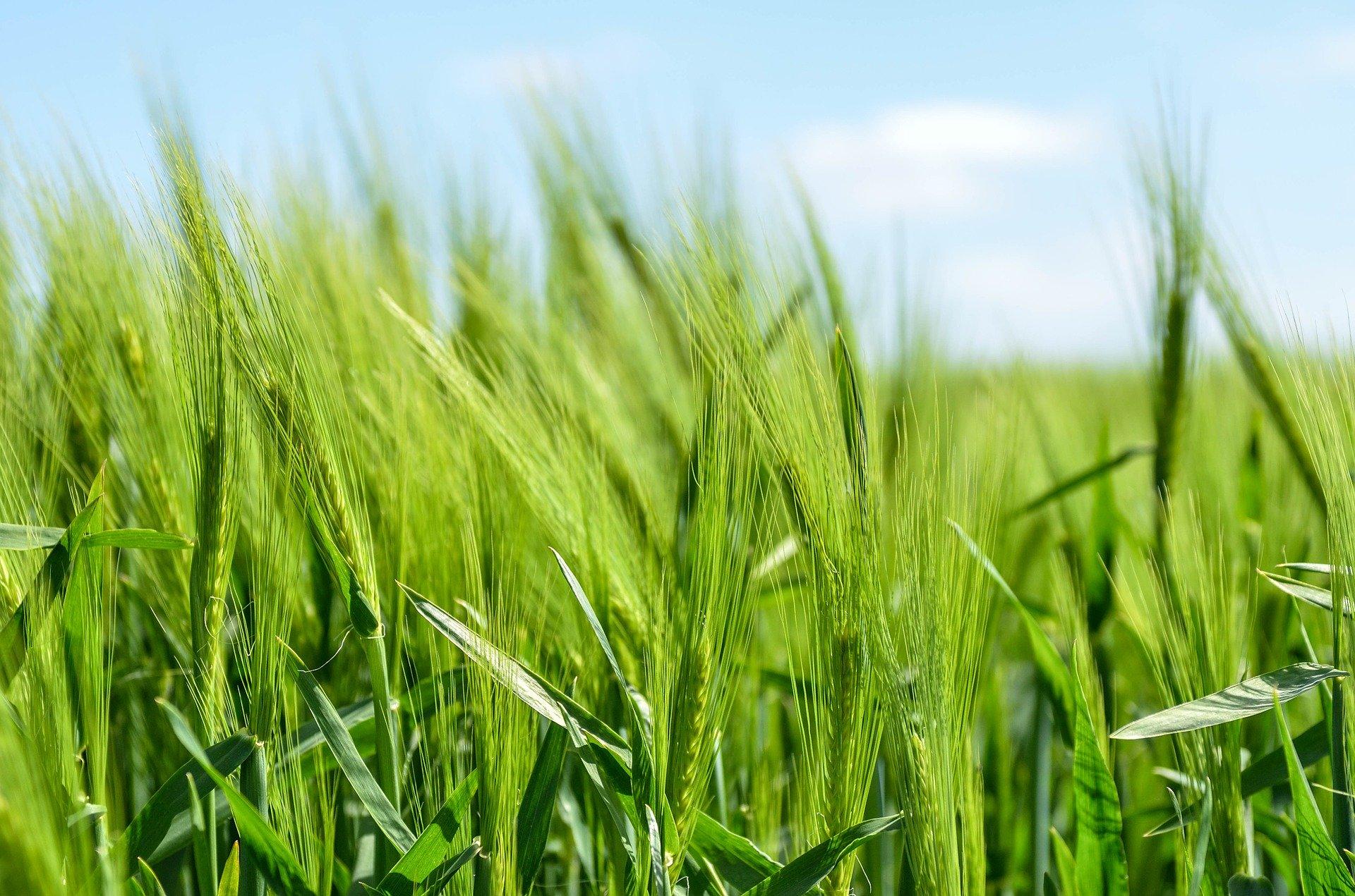 Un champ de céréales. Illustration © Free-Photos/Pixabay