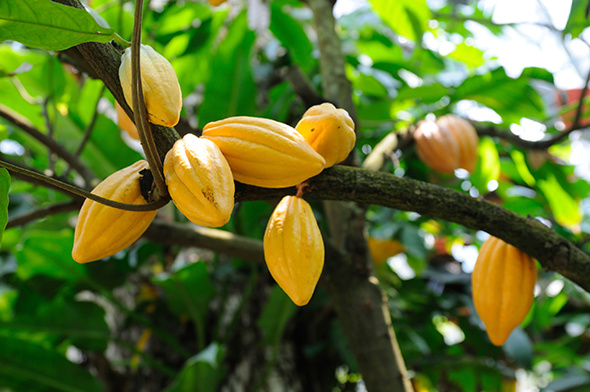 Côte d'Ivoire : Le prix du kilogramme de cacao fixé à 1100 F Cfa