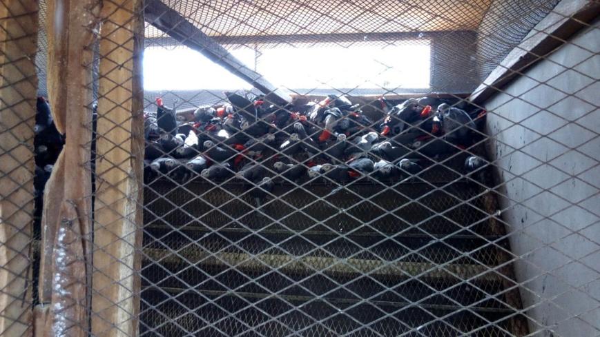 Des perroquets dans des caisses prêtes pour l'exportation illégale.