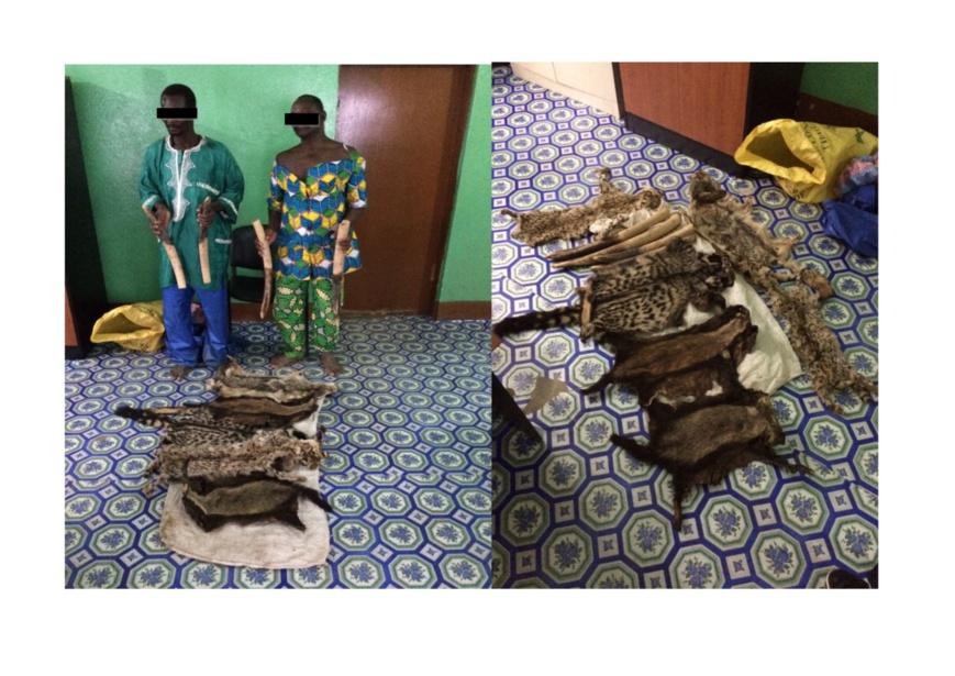Deux individus arrêtés avec des pointes d'ivoires et des peaux d'espèces protégées au Togo