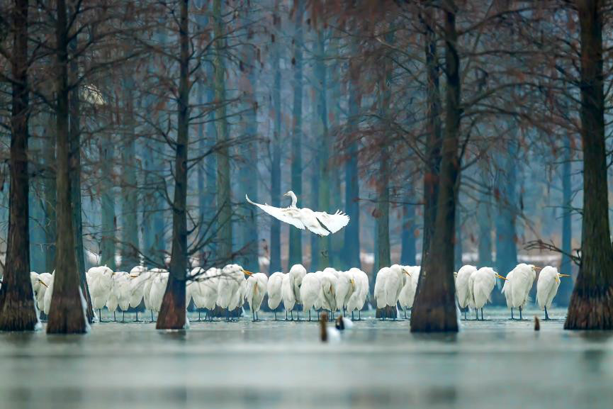 Nearly 1,000 egrets play among the pond cypresses in winter's lake. (Photo by Han Junjie from People's Daily)