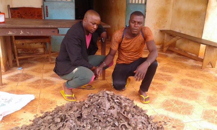 Les deux trafiquants d'écailles de pangolin à la brigade de gendarmerie de Doume.