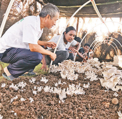 A Chinese expert teaches mushroom planting technology to Fijian farmers. Photo by Qu Xiangyu from People's Daily