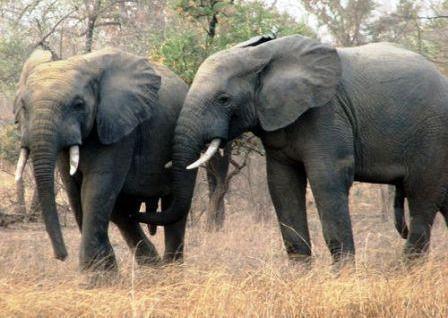 Tchad/Trafic d'ivoire : 20 éléphants tués et un soldat abbatu par les braconniers