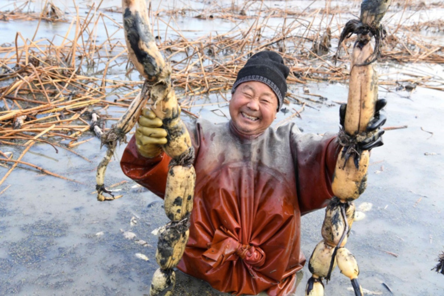 Photo taken on Dec. 8, 2018 shows a farmer harvests lotus roots in Anhui province, east China. Daxu village in Zhaoqiao town of Bozhou city has introduced a pollution-free lotus as a new channel to help local farmers out of poverty and increase their incomes. (Photo from CFP)