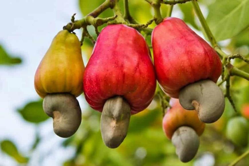 Côte d'Ivoire/Caravane d'information et de dégustation de la pomme d'anacarde : Une rencontre avec la presse prévue jeudi 31 janvier