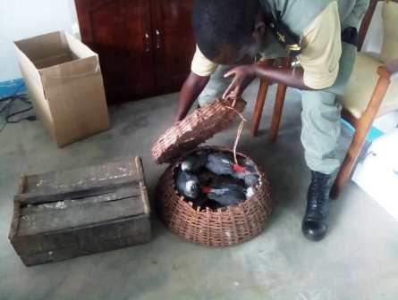 Perroquets en cage saisis par la douane entre les mains du trafiquant.