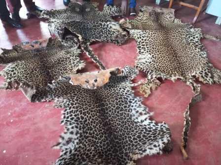 Des peaux de léopard saisies