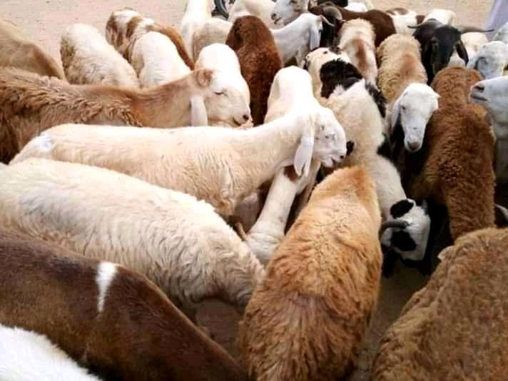 Tchad : le prix du mouton en hausse à l'approche de la fête de Tabaski. © Alwihda Info