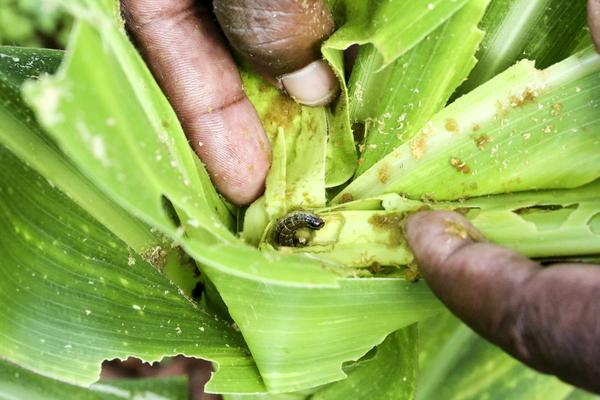 Les cultures de maïs, au stade végétatif précoce, attaquées par la chenille légionnaire d'automne, Harare, Zimbabwe, mars 2018.  Photo: © FAO/Edward Ogolla