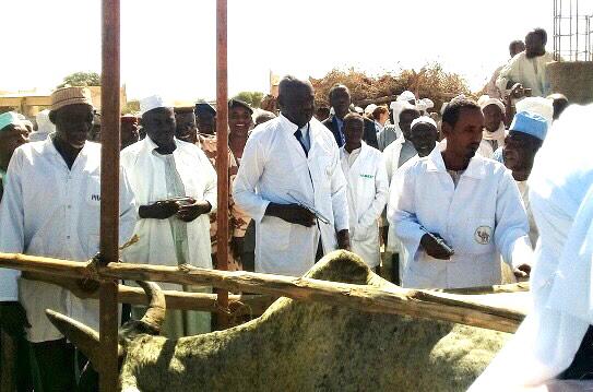 Tchad : vaccination contre la péripneumonie bovine et la peste de petits ruminants à Am-Timan. © Alwihda Info/M.A.K.