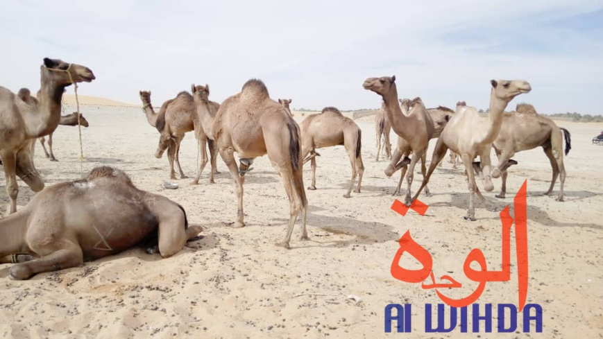 Tchad : vaccination du bétail contre les maladies épidémiologiques au Borkou. © Alwihda Info/A.A.A.