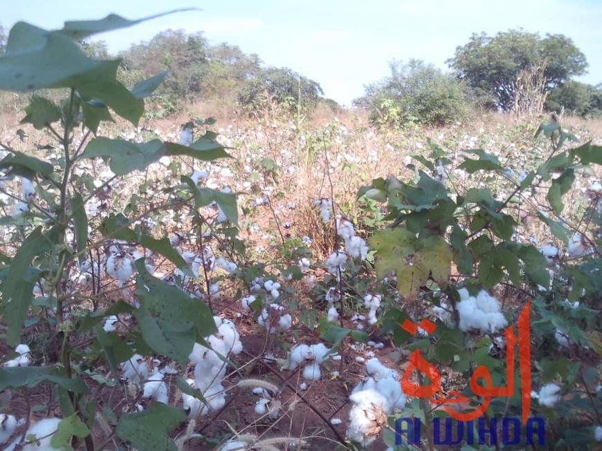 Tchad : des champs de coton présidentiel dévastés par des troupeaux de boeufs au Sud. © Alwihda Info