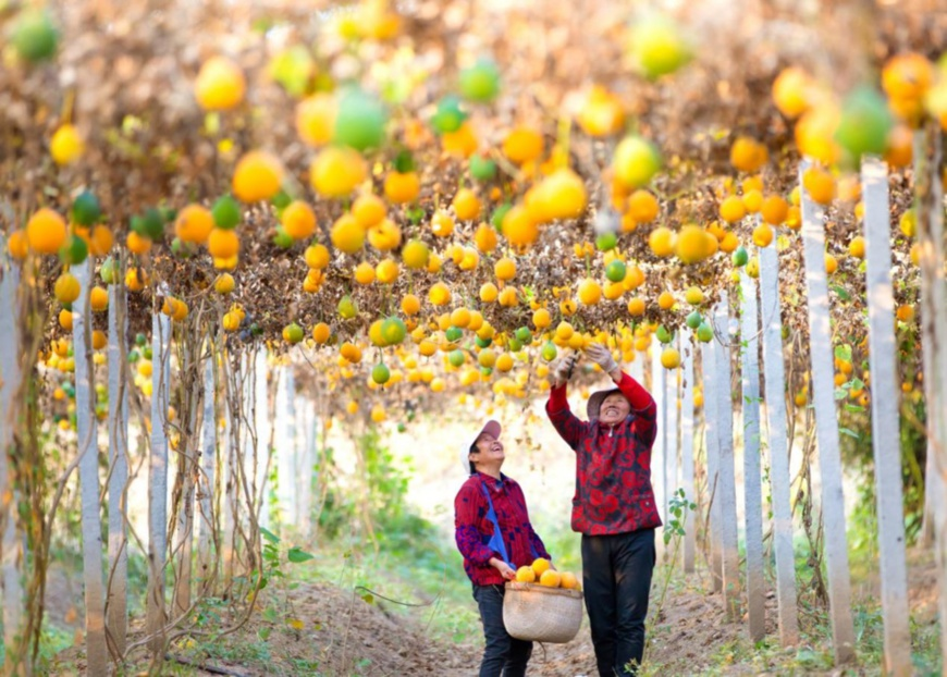 Farmers harvest Chinese snake gourds in Shuyang county, Suqian, east China's Jiangsu province, Nov. 5, 2019. Photo by Ding Xiaoyuan, People's Daily Online