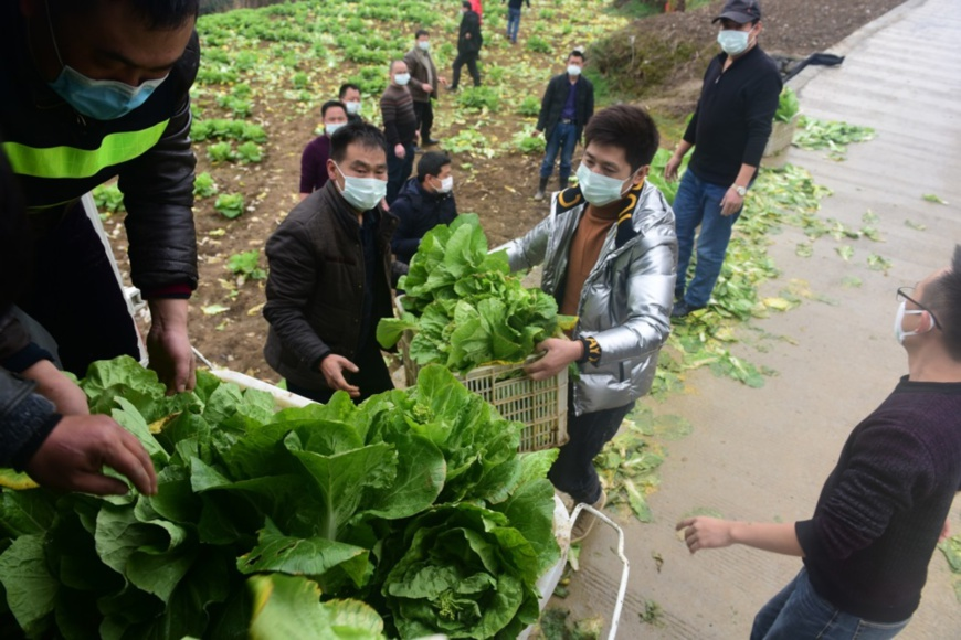 On February 2, 2020, in the official room team of Liuchi Village, Shadi Township, Enshi City, Hubei Province, in order to support the front line of epidemic resistance, villagers in Liuchi Village spontaneously organized picking vegetables for the anti-epidemic medical staff and shipped to Enshi Prefecture Central hospital. (Photo by Yan Peng from People's Daily Online)