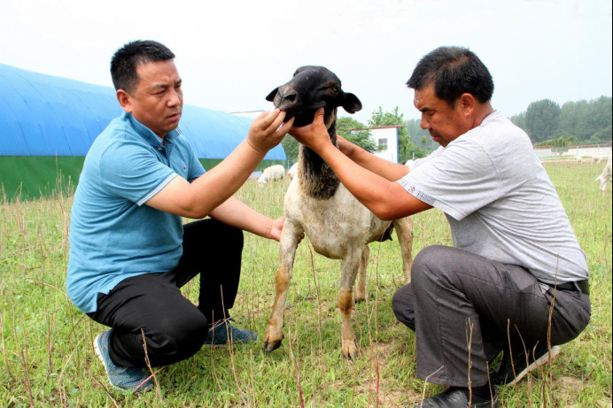 Zhang Zijun (left) checks a lamb with a farmer. Photo from Anhui Agricultural University