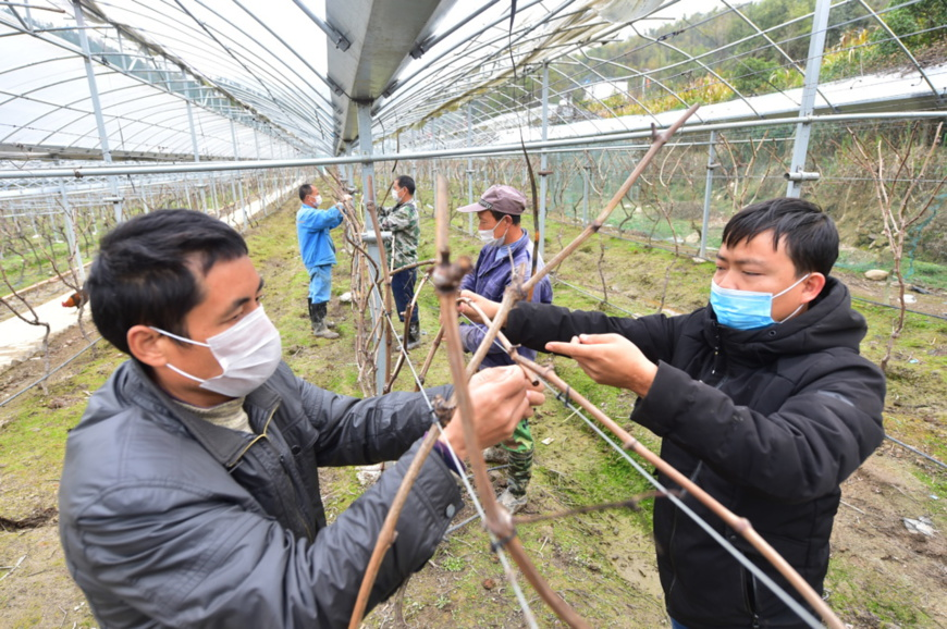 Villagers and impoverished people from Dongchang village who work for a nearby vineyard fix grape vine, March 2. (Photo by Yu Yunliang, People's Daily Online)