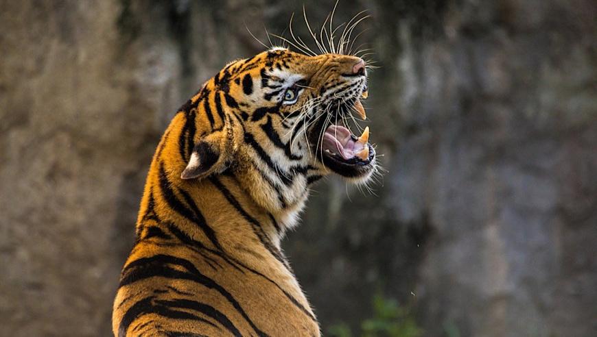 Un tigre. Illustration. © DR
