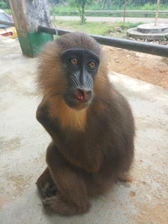 Cameroun/Covid-19 : Des trafiquants de primates arrêtés en pleine pandémie