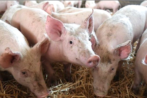 Togo : riposte contre une infection de peste porcine déclarée dans la préfecture de l'Avé. © DR/RT