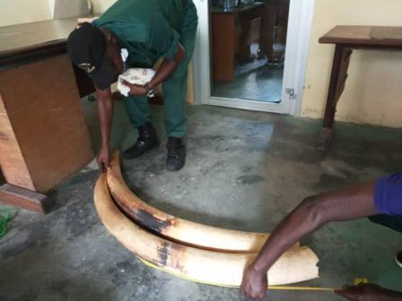 Cameroun/Douala : Trois personnes arrêtées pour trafic d'ivoire