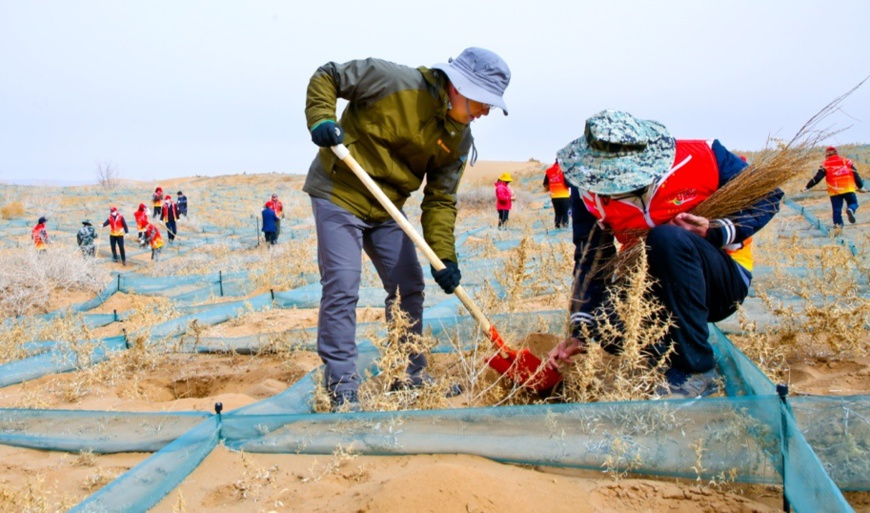 Photo shows citizens of Linze county, Zhangye, Gansu Province planting saxaul trees (haloxylon ammondendron) on March 12. Photo by Wang Jiang/People's Daily Online