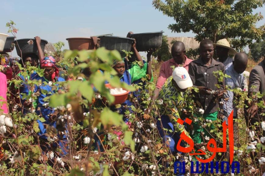 Une récolte de coton dans le champ présidentiel au Sud du Tchad. © Golmem Ali/Alwihda Info