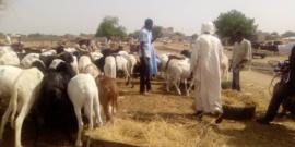 Tchad : hausse des prix de moutons à l'approche de l'Aïd el-Kebir. ©Mahamat Abdramane Ali Kitire/Alwihda Info