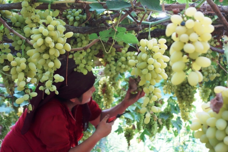 White grapes hang on trellis in Turpan, northwest China's Xinjiang Uygur Autonomous Region. Photo by Jiang Xiaoming/People's Daily Online