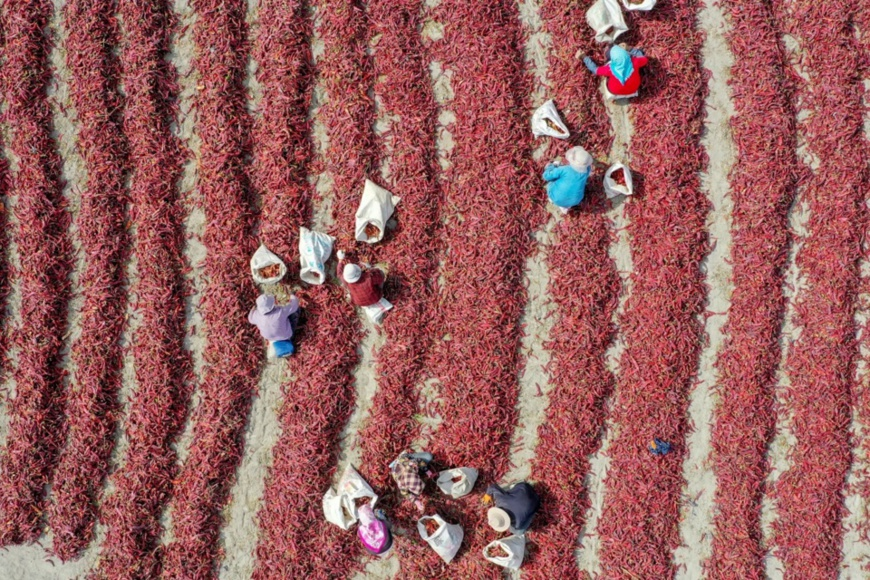 Farmers dry, sort and pack chilies in a village in Wulanzaigesen township, Bohu county, northwest China's Xinjiang Uygur Autonomous Region, Sept. 28. Photo by Nian Lei, People's Daily Online