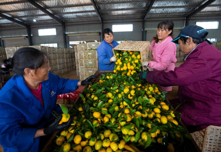 Farmers pick mandarin oranges to be exported at a plantation base in Yushui district, Xinyu, east China's Jiangxi province, Oct. 7. Photo by Zhao Chunliang, People's Daily Online