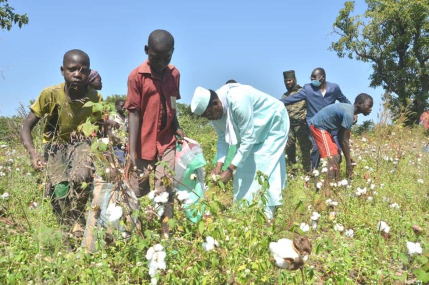 Tchad : le président récolte du coton avec des paysans dans un champ près de Sarh