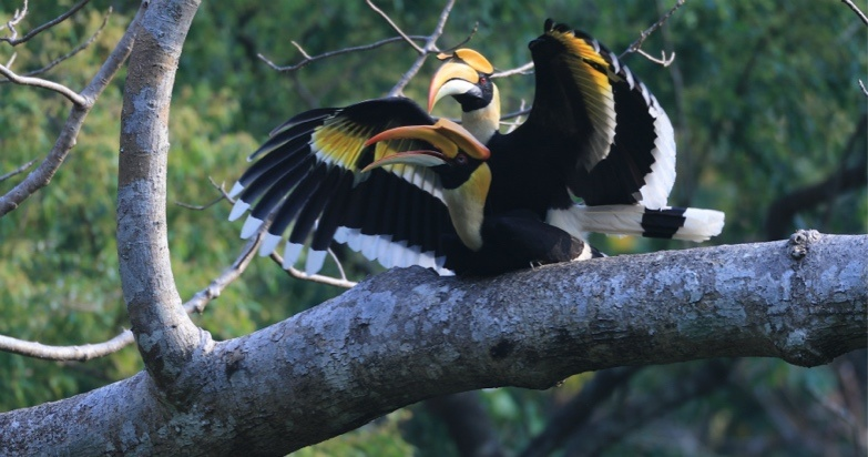 Great hornbill rest on a tree in Tongbiguan provincial nature reserve in southwest China's Yunnan province. Photo courtesy of the Forestry and Grassland Administration of Yunnan province.