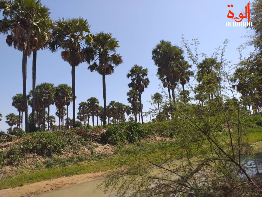 Un paysage forestier à Kerfi, au Sila, Est du Tchad. Illustration © Mahamat Issa Gadaya/Alwihda Info