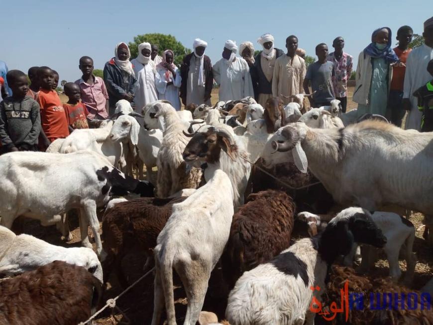 Tchad : la Tandjilé lance la vaccination du bétail contre la peste et la péripneumonie. © Éric Guedi/Alwihda Info
