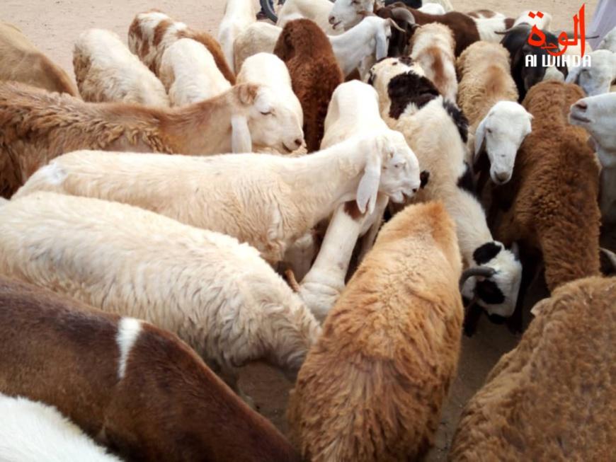 Tchad : un voleur de moutons arrêté par la gendarmerie