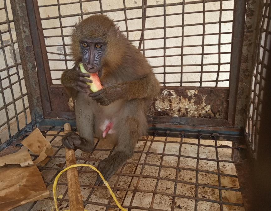 Cameroun :  Un commis de douane arrêté avec un mandrill vivant à Ambam
