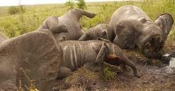 Des éléphants abattus par des braconniers. Crédits photos : Reuteurs.