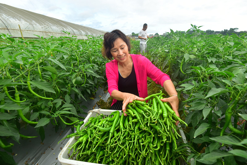 Villagers pick green chilies at a vegetable planting base in Xinhuasuo village, Xinhua township, Jinping county, Qiandongnan Miao and Dong autonomous prefecture, southwest China's Guizhou province, June 14, 2021. (Photo by Li Bixiang/People's Daily Online)