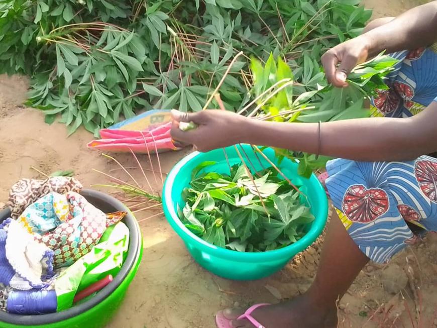 Nutrition : les bienfaits du manioc et de ses feuilles en Afrique