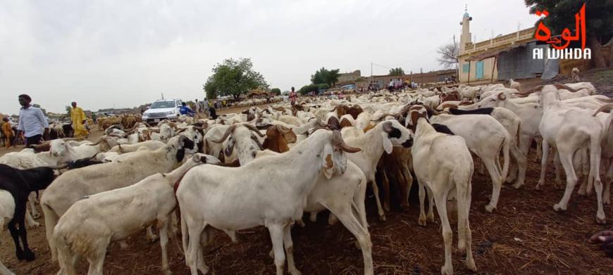Tchad : le prix du mouton n'est pas à la portée de tous à l'approche de l'Aid Al-Adha