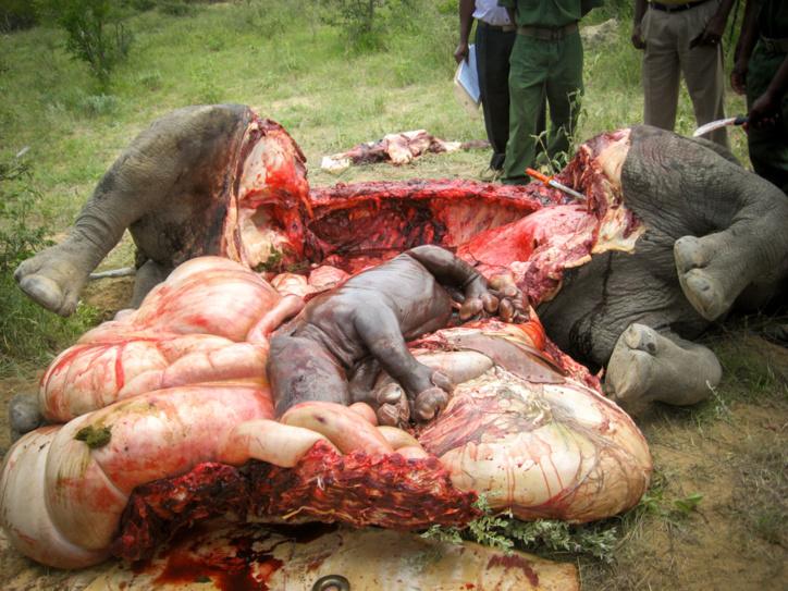 Le braconnage est une grosse affaire en Afrique du Sud, la corne de rhinocéros vaut désormais plus que l'or