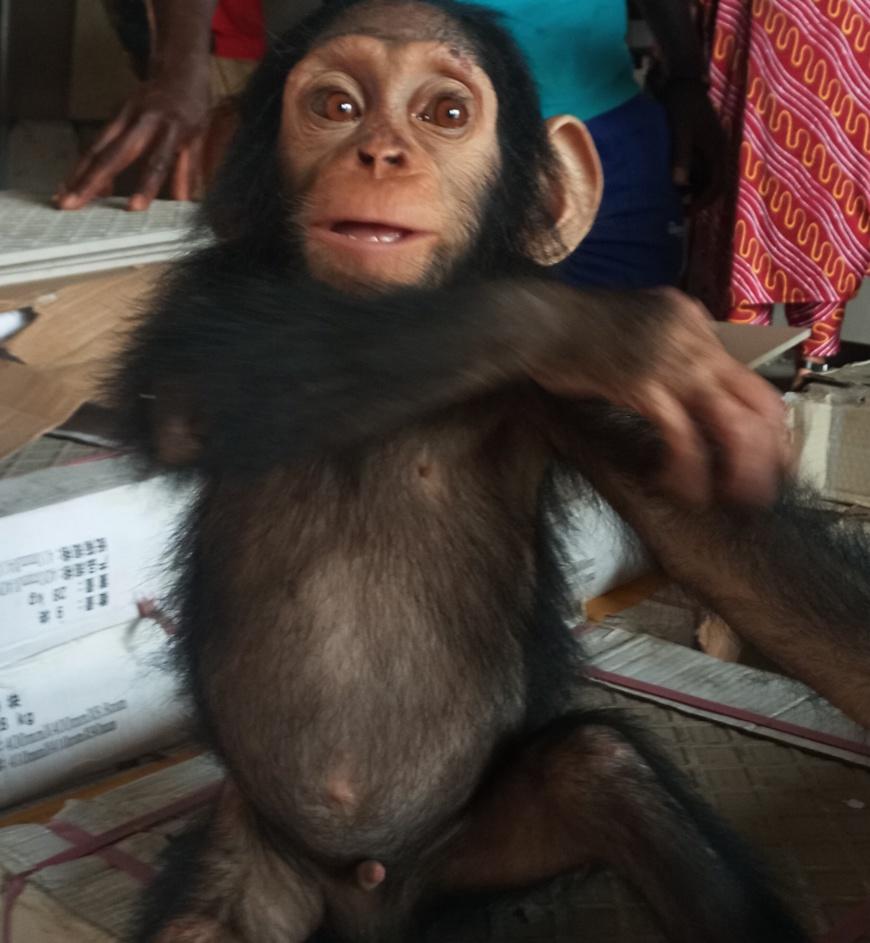 Cameroun :  quatre personnes arrêtées pour trafic de chimpanzé à Douala