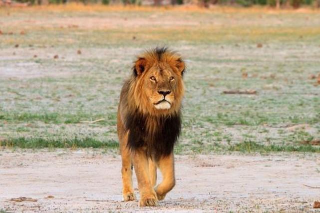 """Le Zimbabwe rend justice au lion """"Cecil"""" tué par un Américain"""
