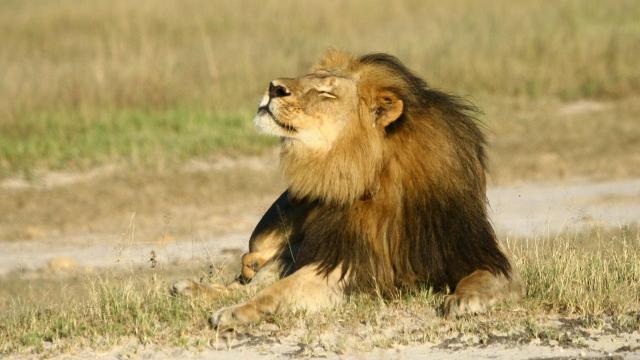 Cecil, lion de 13 ans, a été tué début juillet. | Photo : Reuters