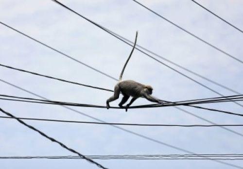 Kenya : un singe prive le pays d'électricité pendant 5 heures. Crédit photo : Sources