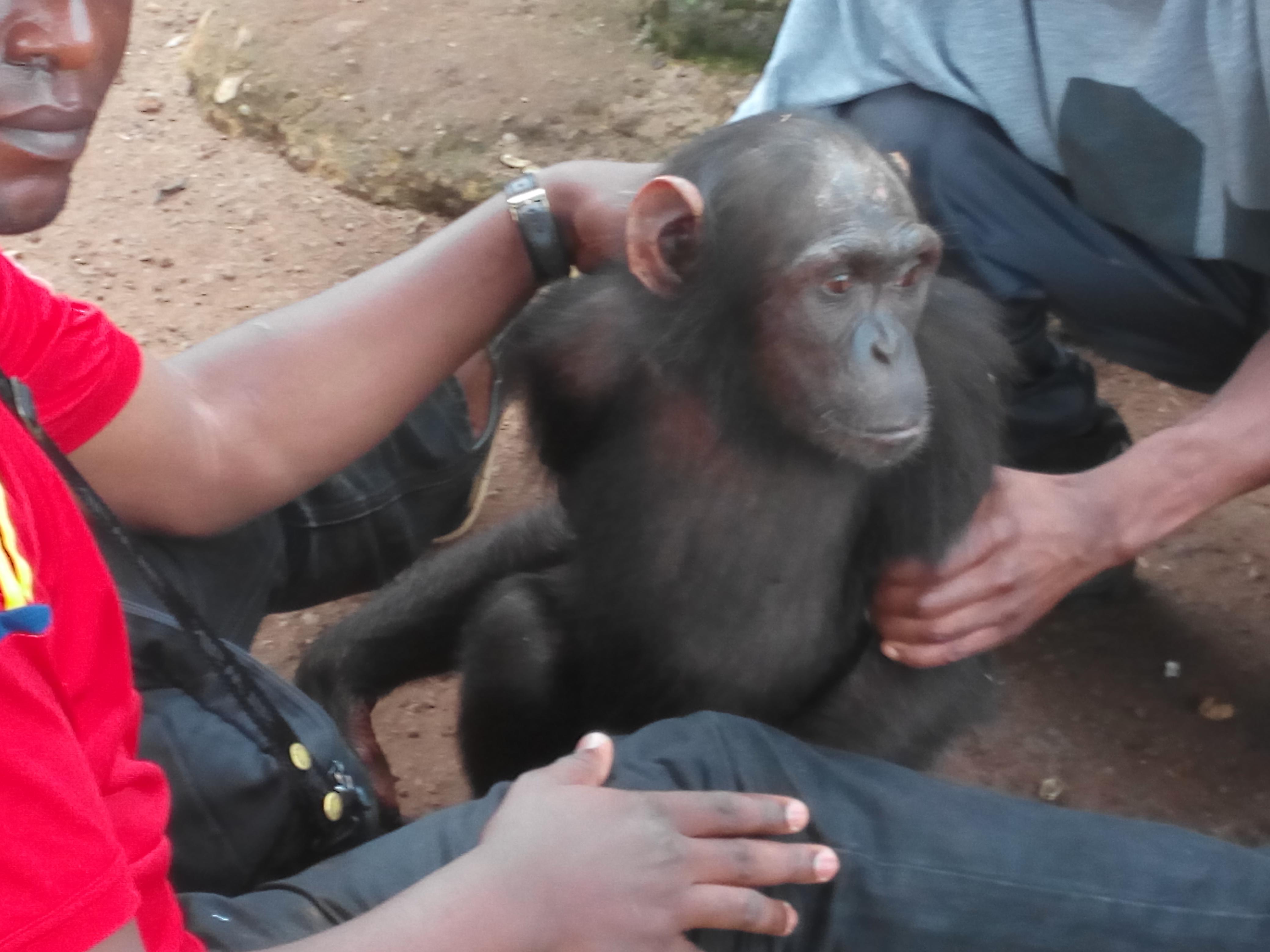 Ce chimpanzé est un orphelin qui s'est retrouvé entre les mains du suspect après la mort de sa mère.