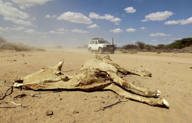 La voiture d'une organisation humanitaire passe devant la carcasse d'une vache morte pour rejoindre Liboi, une ville frontalière entre la Somalie et la Kenya. Avec la sécheresse, la Somalie - et plus généralement la Corne de l'Afrique- est touchée par une famine extrêmement grave. Reuters