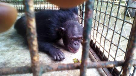 Les chimpanzés sauvés ont reçu un espace au Limbe Wildlife Center.