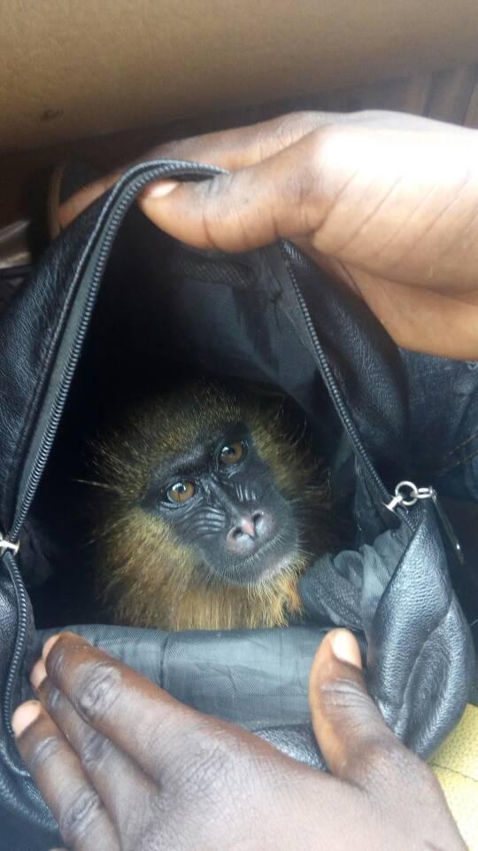 Les mandrills sont intégralement protégés par la loi faunique camerounaise de 1994.